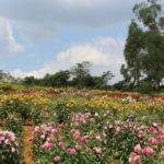 Jardim conta com 3,5 mil pés de Dália e 80 variedades e é considerado o maior do gênero no país (divulgação)