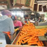 Processo de classificação de cenoura na Coopadap (Aldo Shiguti)